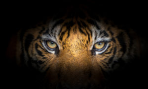 Tiger eyes on black background